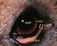 Red Eye in Dogs – Causes, Symptoms, Cure, Remedies, Treatment of Cats and Dogs with Red Eye