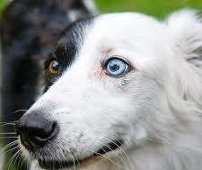 Red Eye in Dogs – Normal dog with bi-color eyes